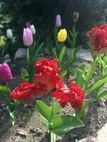 Jolies les tulipes?