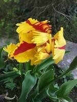 Dernière tulipe ..