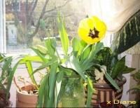 tulipe%20jaune