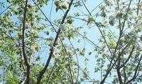 fleurs%20pommier