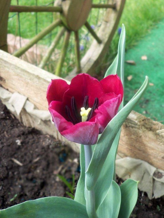 Ma 1ère tulipe, enfin!