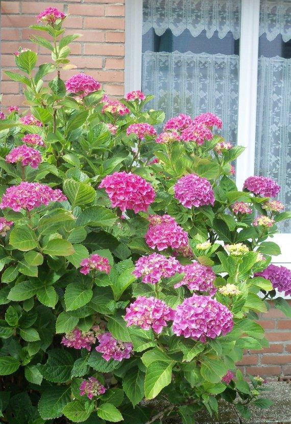 Un hortensia devant ma fenêtre...