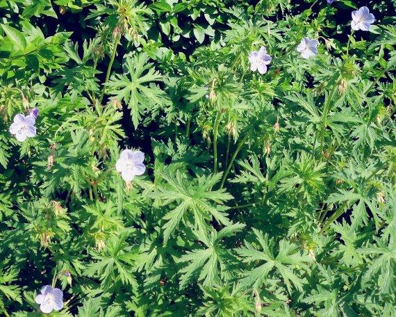 Géranium vivace