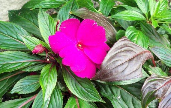 Impatiens de nouvelle guin e mon jardin belle c 39 est - Impatiens de nouvelle guinee ...