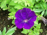 Surfinia violet