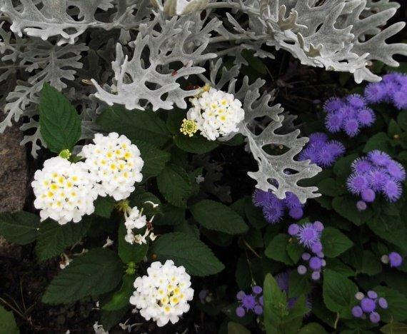 Lantana blanc