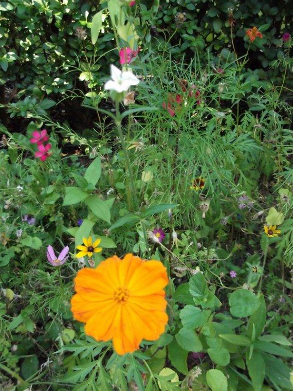Essai d'un semis de fleurs des champs