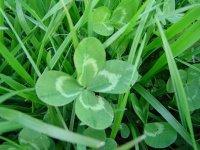 trefle-4-feuilles