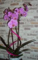 Orchidée Papa