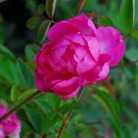 camelia_rose