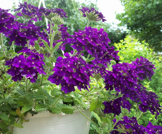 Verveine violette
