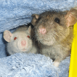 Vermine (agouti) et Dalida (siamoise)