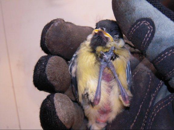 b b oiseau tomb du nid help oiseaux forum animaux. Black Bedroom Furniture Sets. Home Design Ideas