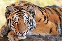 Tigre-Roi-de-la-Forêt
