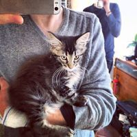 maine coon Christophe