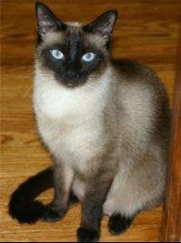 200px-Niobe050905-Siamese_Cat