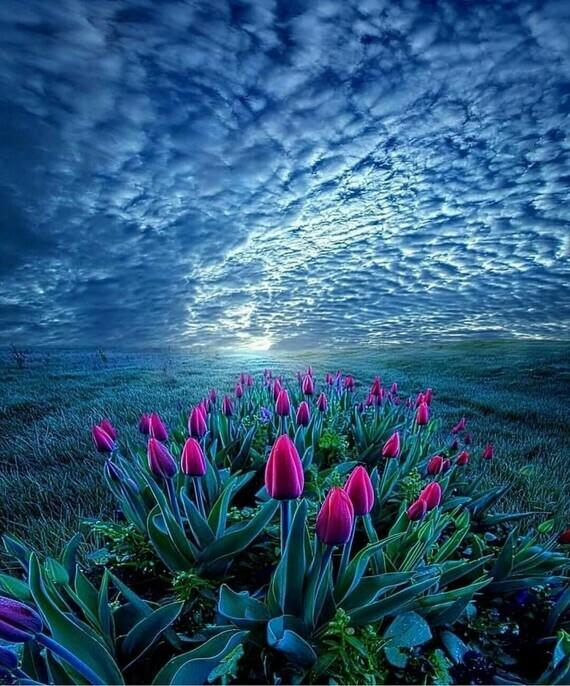 Tulipes (01)