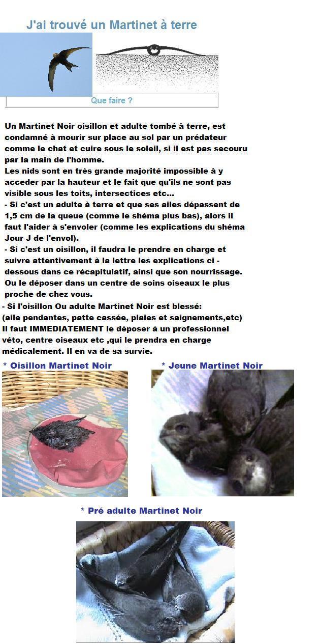 informations-martinet-noir-j-ramasse-martinet-big