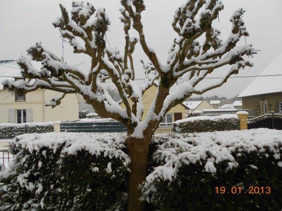 Arbre et thyuas sous la neige