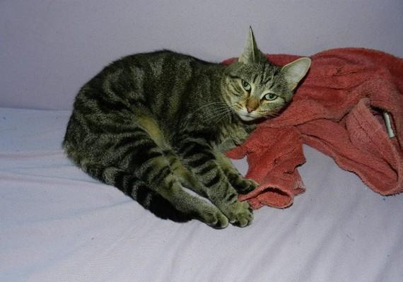 chlo chatte perdue toulouse i cad adoption d 39 un chat chat perdu chat trouv chats. Black Bedroom Furniture Sets. Home Design Ideas