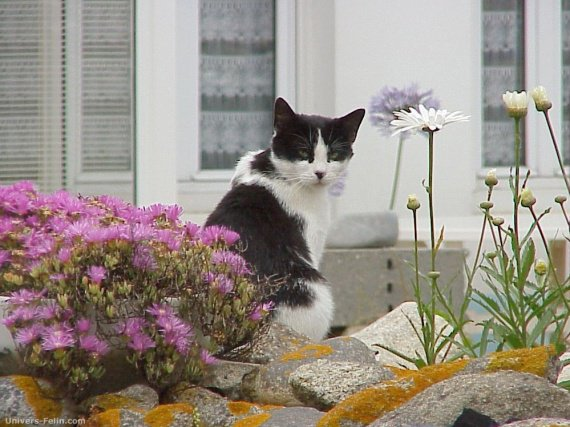 chats_de_blogs-chat_noir_et_blanc_dans_un_jardin-img