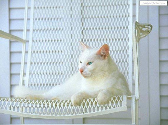 chat_blanc_sur_chaise