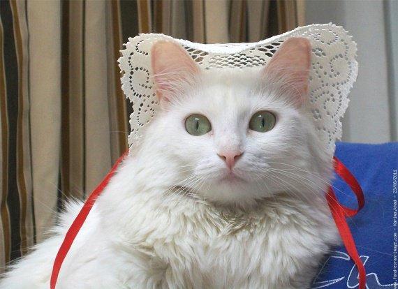 chat-angora-turc-lily-1485_droit