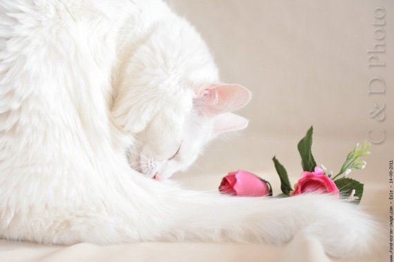 chat-angora-turc-rose