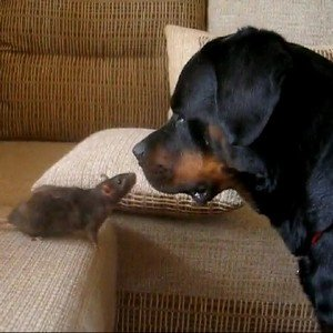 rottweiler-chien-decouvre-rat-video-animaux