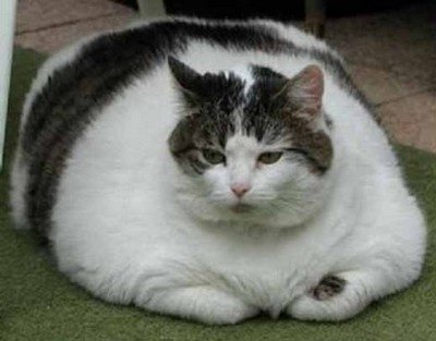 chat_obese