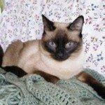 chat-siamois-dans-lit-150x150
