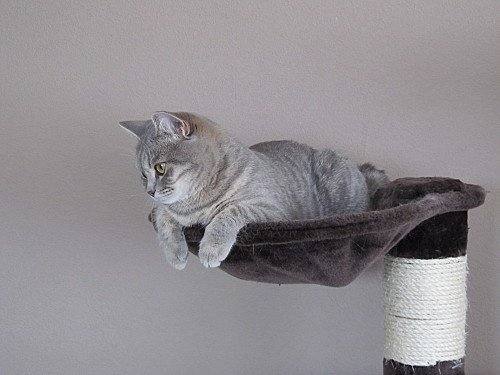 _BRITISH-SHORTHAIR-CHAT-DE-RACE-CHATON-CHATTE