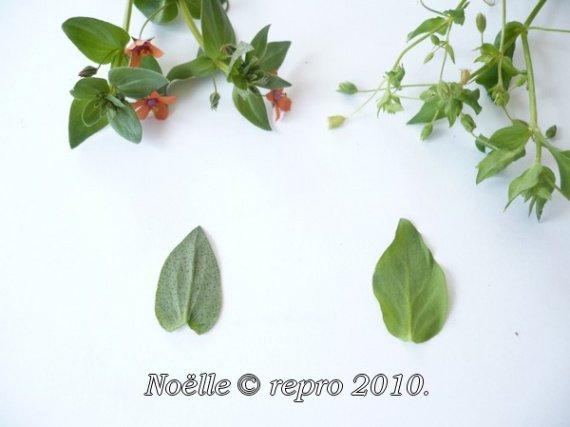 mouron-rouge-toxique__mouron-blanc-comestible