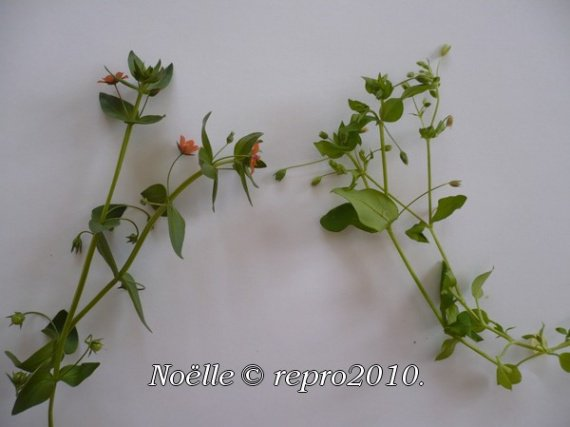 mouron-rouge-toxique_mouron-blanc-comestible