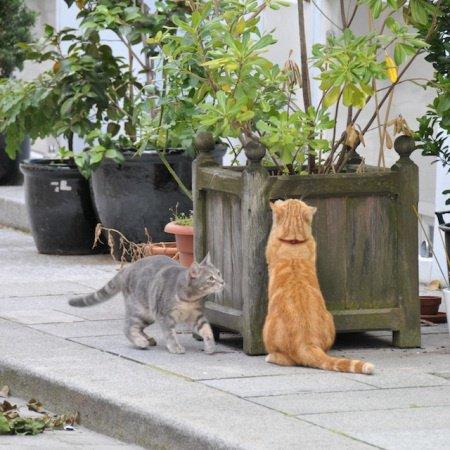 chats-gris-roux-1