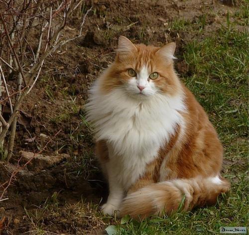 chat-roux-et-blanc