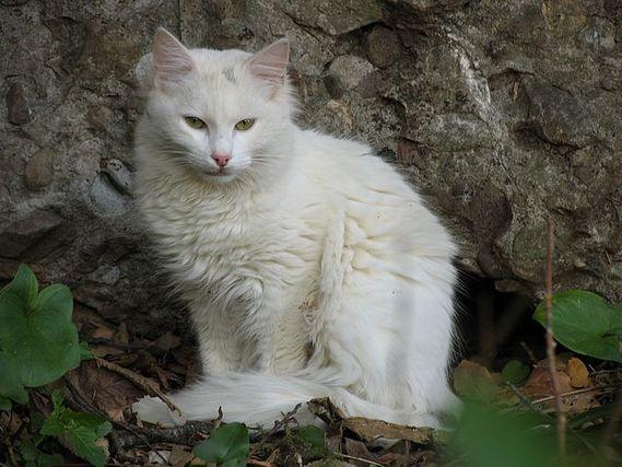 cat-feline-white-Siamese