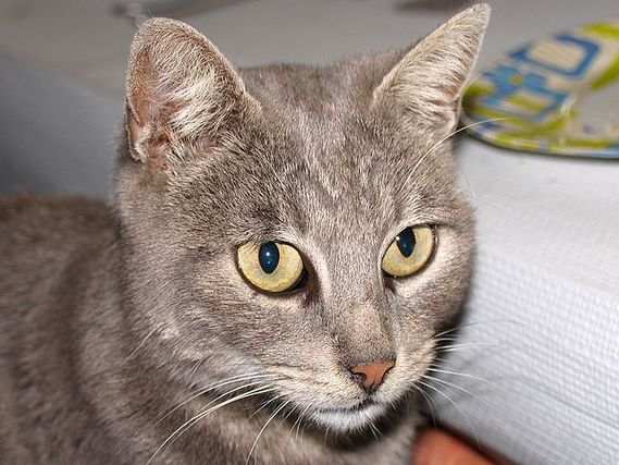 cat-grey