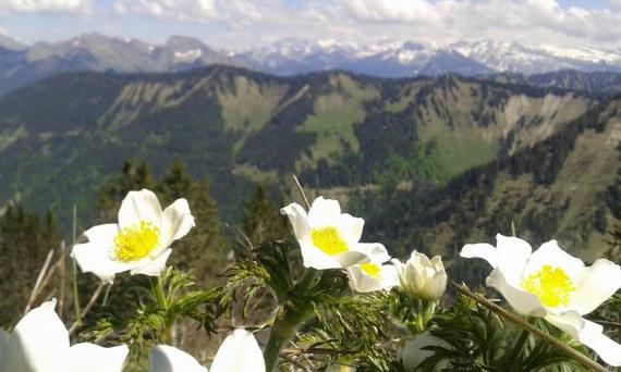 fleurs des montagnes