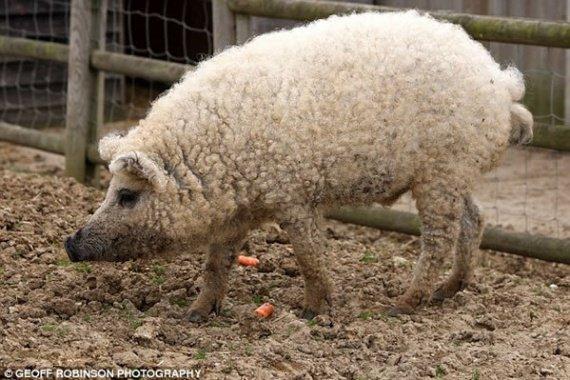 cerdoovej