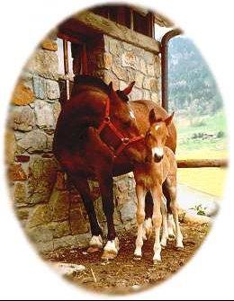 cheval-poulain