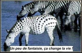 zebru