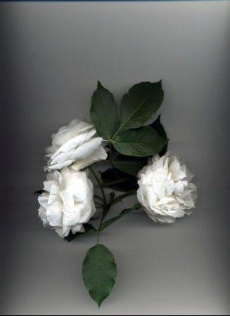 medium_fleurs_roses_blanches_3