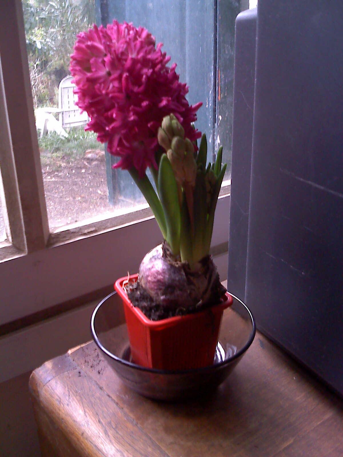 arrosage jacinthe en pot