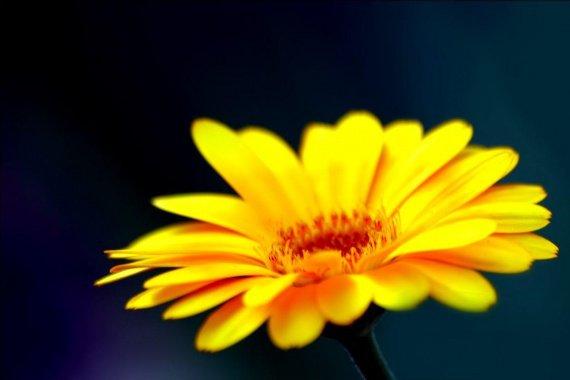Fleur des champs jaune