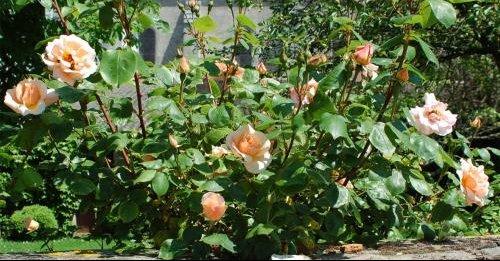 rosier rose muret
