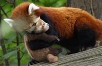 calin panda