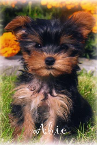 Yorkshire Terrier Chiens Forum Animaux