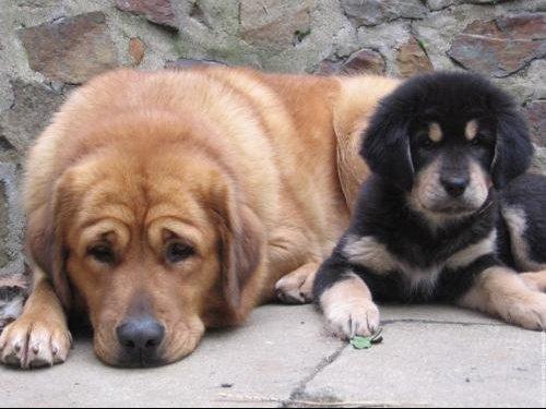 galerie-membre,chien-dogue-du-tibet,bhuma-01-006