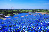 2_nemophilia_blue_garden_japan_hitachi_park